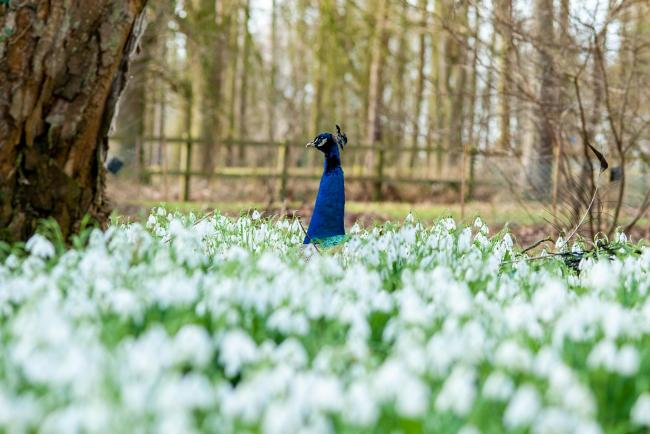 SNOWDROPS DISPLAY: The display returns to the Estate this February. Photo credit: Bryan Shaw