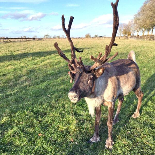 A reindeer at Colchester Zoo. Picture: Colchester Zoo