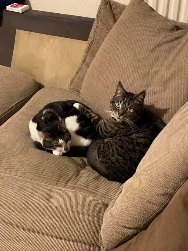 "Braintree and Witham Times: Snuggled up - Angela Taylor sent this picture of her cats. She said: ""They're keeping me company while working from home - even if they are hogging the best spot on the sofa"""