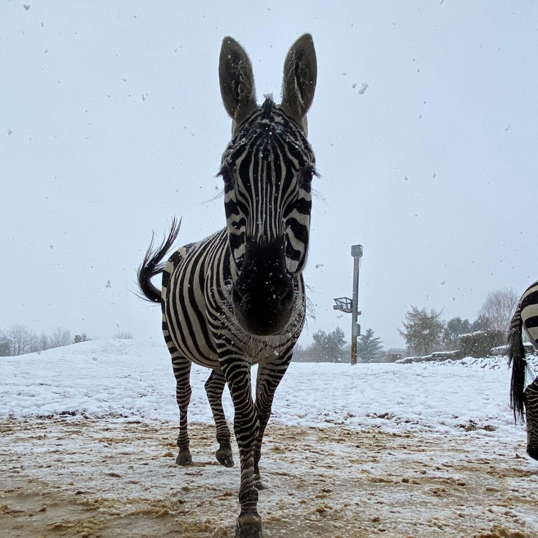 Snowing - one of the zoos zebras out in the snow. Picture: Colchester Zoo