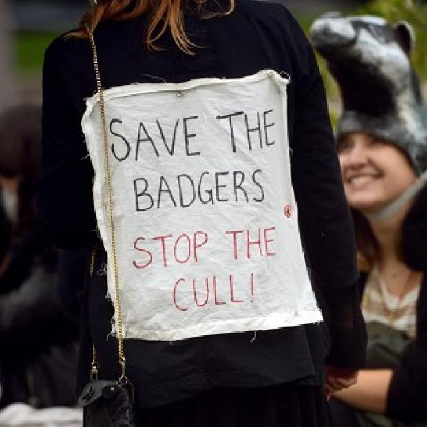 Many wildlife campaigners have been opposed to the badger cull
