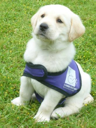 A Canine Partner puppy in training.