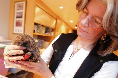 Rescue centre swamped by hedgehogs