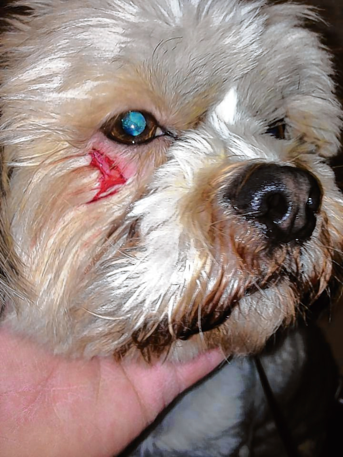 Braintree: Dog attack has ruined Christmas, says disabled pet owner