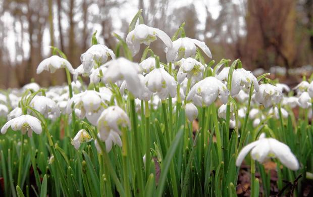 Enjoy a snowdrop Sunday at Marks Hall this weekend