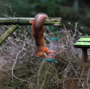 Braintree and Witham Times: A Red Squirrel tries to take some nuts from a bird feeder in Kielder Forest, Northumberland