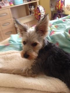 Toby the Yorkshire terrier Jack Russell cross was attacked by another dog