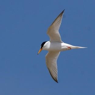 Little terns have been badly affected by recent severe weather con