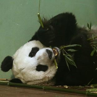 Experts at Edinburgh Zoo said Tian Tian should have gone into labour over the weekend but hormone tests suggested 'somet