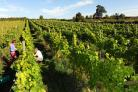 English wine enjoys record number of new producers and vineyards in past year