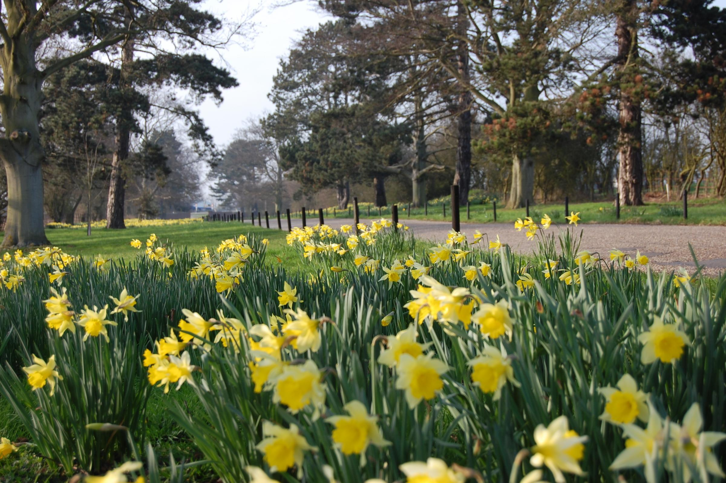 FLOWERS: Daffodils within the grounds at Prested Hall