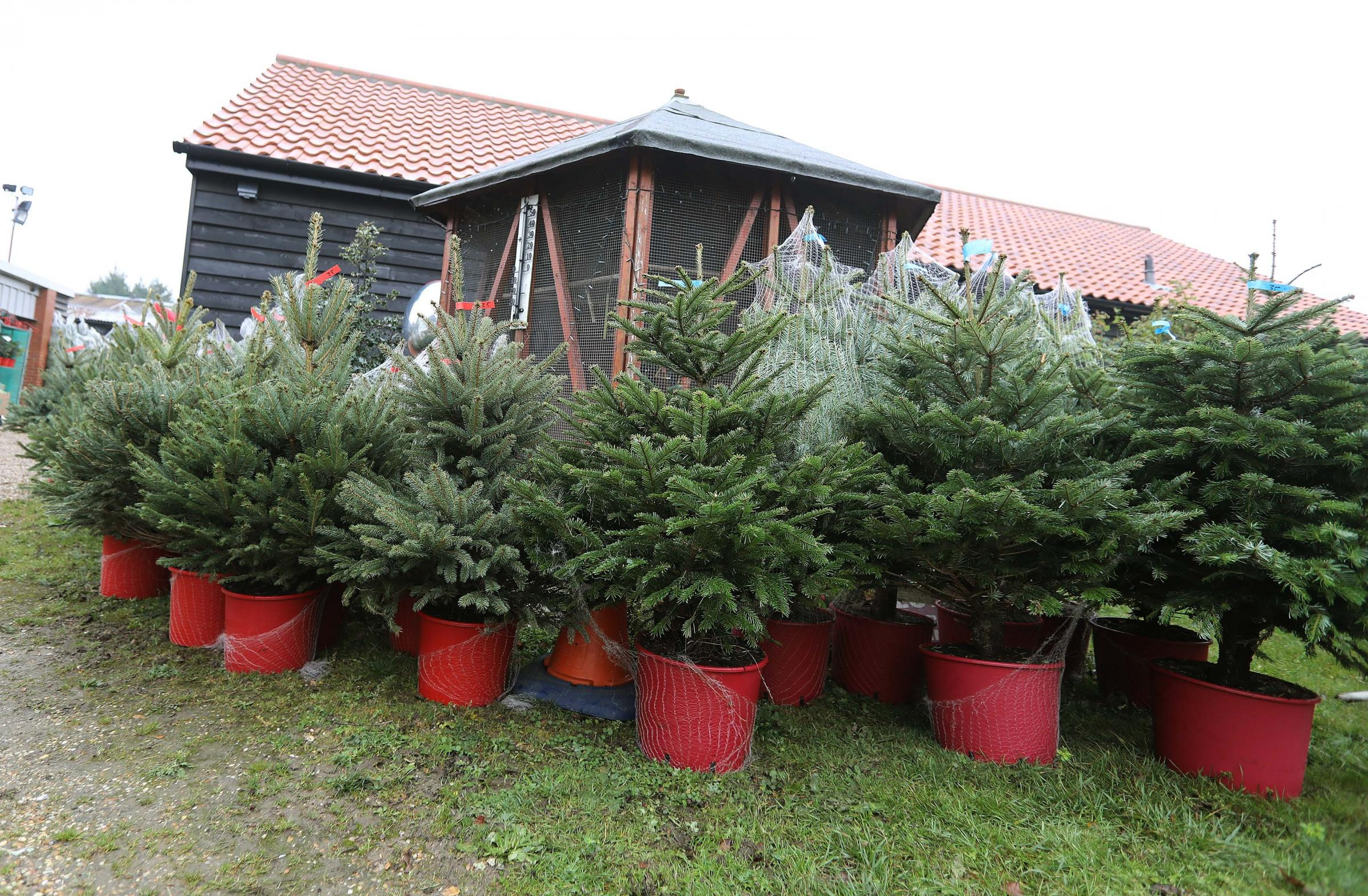 Christmas trees: Farleigh Hospice is collecting trees